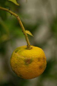 Japanese yuzu fruit
