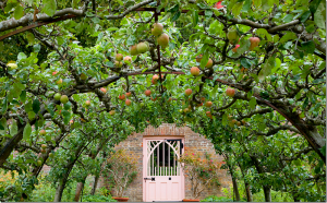 apple espalier tunnel